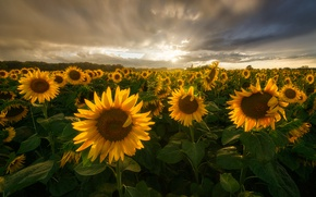 Picture field, summer, the sun, clouds, light, sunflowers