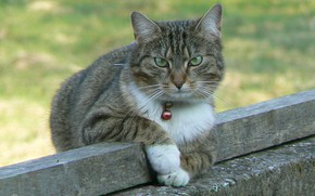 Picture bells, looking at the camera, tabby cat