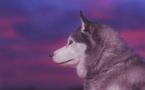 Picture face, background, portrait, dog, profile, Husky