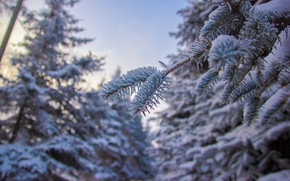 Picture winter, Park, pine