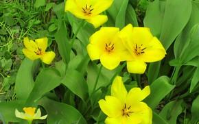 Picture flowers, yellow tulips, spring 2018, Meduzanol ©