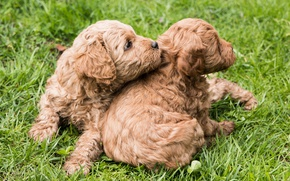 Picture puppies, kids, breed