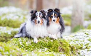 Picture dogs, nature, a couple, sheltie, Shetland Sheepdog
