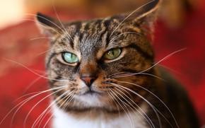 Wallpaper cat, eyes, mustache
