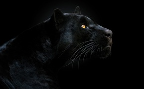 Wallpaper Panther, black background, face, look, the dark background