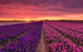Picture field, sunset, Holland, hyacinths