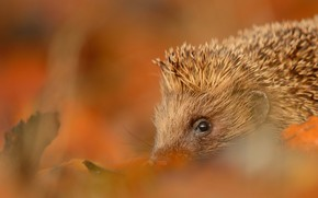 Picture autumn, look, leaves, nature, background, blur, muzzle, hedgehog, hedgehog, hedgehog, hedgehog