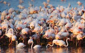 Picture birds, pack, Flamingo