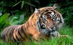Picture grass, look, tiger, Predator, lie