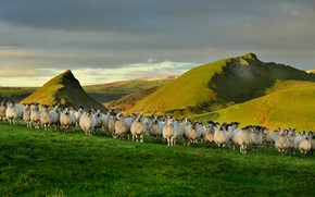 Picture nature, sheep, England