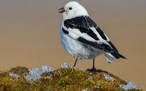 Picture bird, beak, tail, snow Buntings