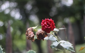 Picture nature, Macro, Flowers, Rose, Bud, Background