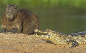 Picture two, crocodile, Animals, copybara