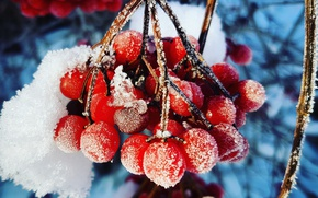 Picture berries, Macro, Winter, Frost, Kalina, Cold, Weights, Gulkevichi