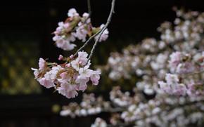 Picture Japan, blurred background, Sakura, flowering in the spring