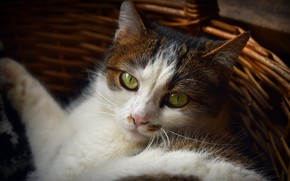 Picture cat, cat, face, portrait, lies, basket, green eyes, spotted