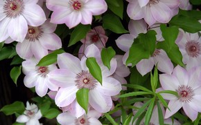 Wallpaper flowers, freshness, foliage, tenderness, petals, stamens, clematis