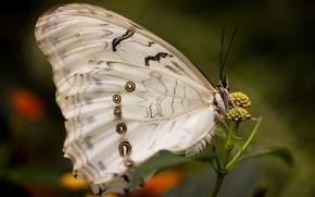 Picture macro, butterfly, insect, morpho