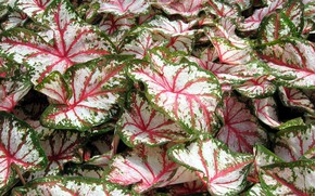 Picture leaves, colored, pink