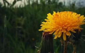 Picture macro, Flowers, Dandelion