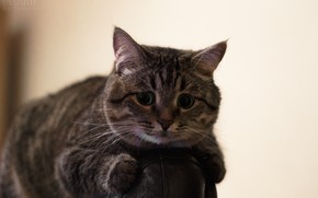 Picture cat, look, room, cat, chair, fluffy, Kote, Metis, tabby cat, brown cat, fluffy cat