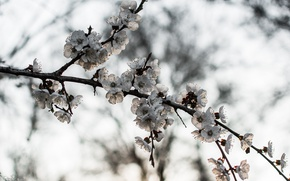 Picture nature, tree, branch, blooms