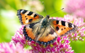 Picture macro, butterfly, flowers, insects, nature, plants, petals, September, flora, urticaria, Indian summer