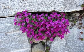 Picture Nature, Purple, Flowers, Stones