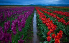 Wallpaper field, the sky, water, flowers, purple, after the rain, tulips, red, the ranks, plantation, boundary