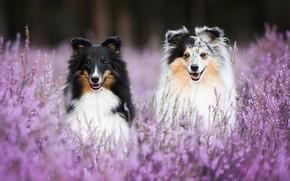 Picture dogs, bokeh, two dogs, Sheltie, Heather, Shetland Sheepdog
