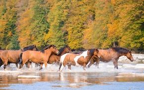 Wallpaper the herd, river, horse, autumn, horses