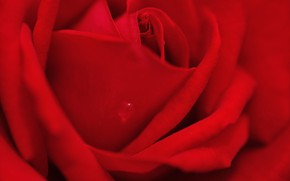 Picture macro, red, rose