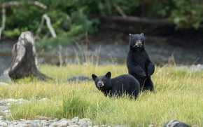 Picture field, nature, bears, pair, black