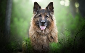 Wallpaper German shepherd, face, branches, bokeh, portrait, look, dog