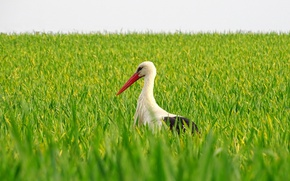 Picture field, bird, beak, stork