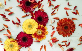 Picture flowers, background, yellow, petals, colorful, red, gerbera, yellow, wood, flowers, spring, gerbera