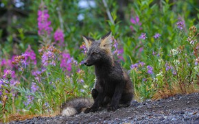 Picture grass, flowers, nature, animal, Fox