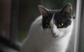 Picture cat, look, Kote, yellow eyes, kitty, white-gray, purebred cat, white-grey cat