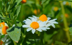 Picture Nature, Spring, Daisy, Nature, Spring