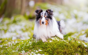 Wallpaper look, portrait, dog, bokeh, sheltie, Shetland Sheepdog