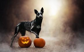 Picture fog, dog, pumpkin