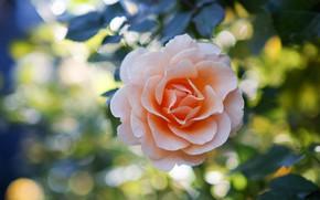 Picture rose, petals, cream
