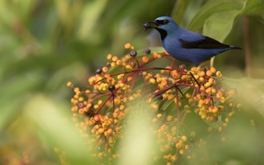 Picture nature, berries, bird, blue dacnis