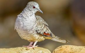 Picture bird, beak, tail, Inca dove