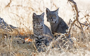 Picture animals, grass, nature, pair, lynx