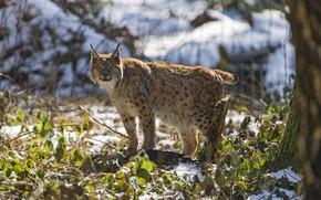 Picture predator, lynx, brush