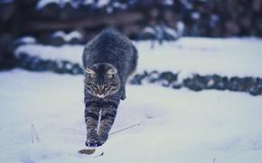 Picture winter, cat, snow, jump