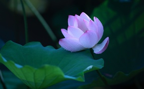 Picture flower, leaves, drops, flowers, the dark background, petals, Bud, Lotus