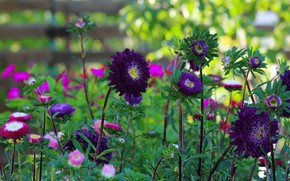 Picture summer, flowers, nature, beauty, flowering, cottage, asters