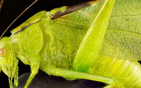 Picture wings, head, insect, grasshopper green